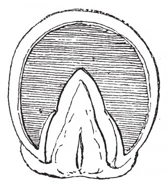 Horse's hoof (Front Upright) vintage engraving