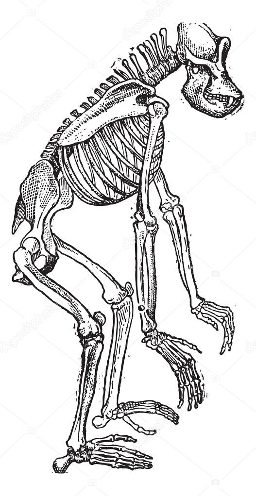 esqueleto del grabado vintage gorila — Vector de stock © Morphart ...