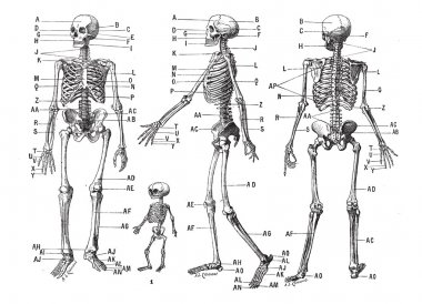 Human skeleton, vintage engraving.