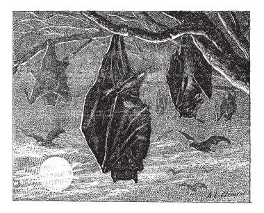 Kalong or Large Flying Fox (Pteropus vampyrus), vintage engravin