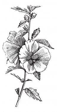 Hibiscus (hisbiscus syriacus), vintage engraving.