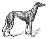 Greyhound, vintage gravírování