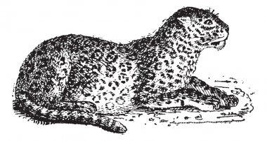 Leopard or Panthera pardus, vintage engraving