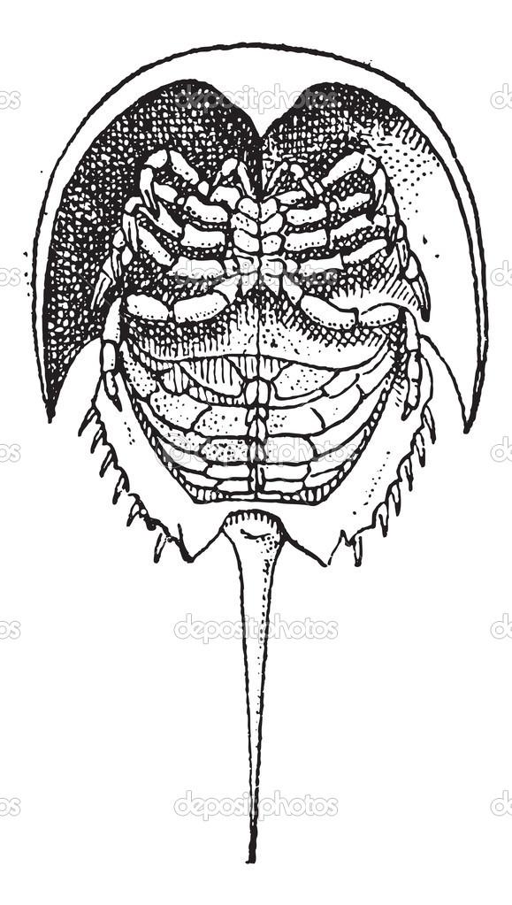 cangrejo de herradura o limulidae, vintage grabado — Archivo ...