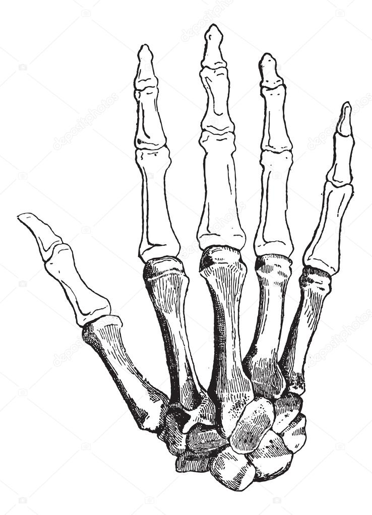 Bones of a Human Hand, vintage engraving — Stock Vector © Morphart ...