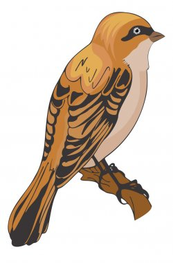 Sparrow or Passeridae, illustration