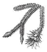 Éjszaka - virágzás Cereus vagy Acanthocereus tetragonus, szüreti engra