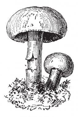 Fairy Ring Mushroom or Marasmius oreades, vintage engraving