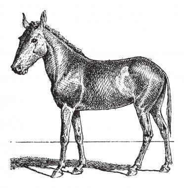 Mule or Equus mulus, vintage engraving