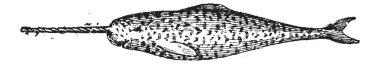 Narwhal, Narwhale or Monodon monoceros, vintage engraving