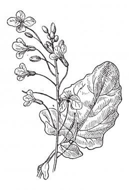 Rapeseed or Brassica napus, vintage engraving