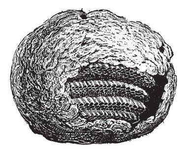 Wasp Nest, vintage engraving