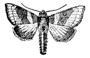 Moth, vintage engraving