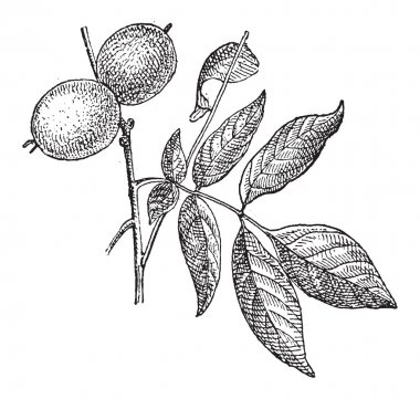 Walnut or Juglans regia, vintage engraving