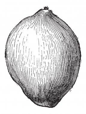 Coconut or Cocos nucifera, vintage engraving