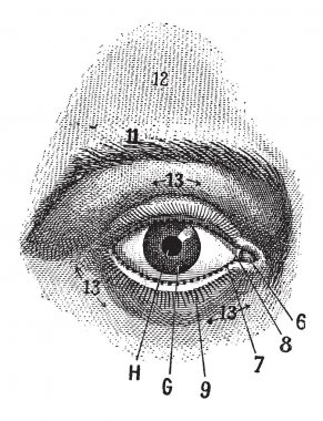 External View of the Human Eye, vintage engraving