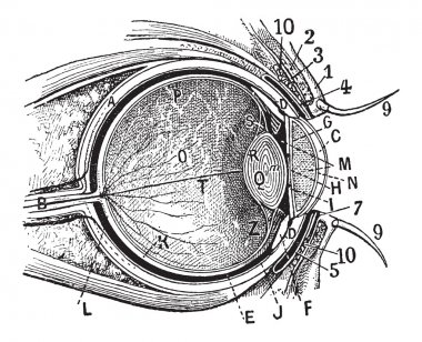 Internal Parts of the Human Eye, vintage engraving
