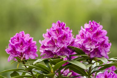 Washington State Coast Rhododendron Flower in full Bloom