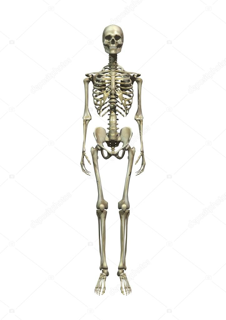 esqueleto humano — Fotos de Stock © PhotosVac #33905615