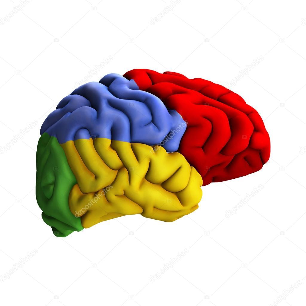 Diagrama de cerebro — Foto de stock © PhotosVac #34149387