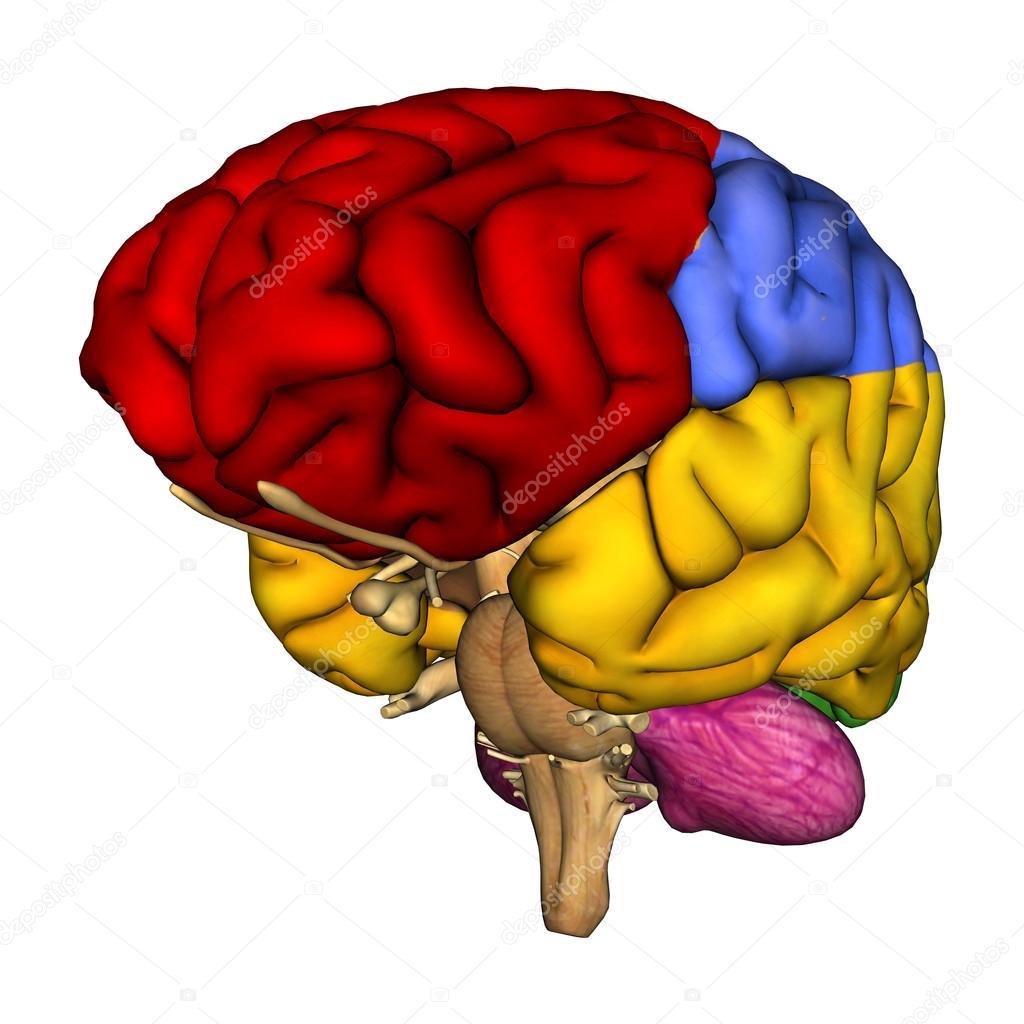 Diagrama de cerebro humano — Foto de stock © PhotosVac #38343777