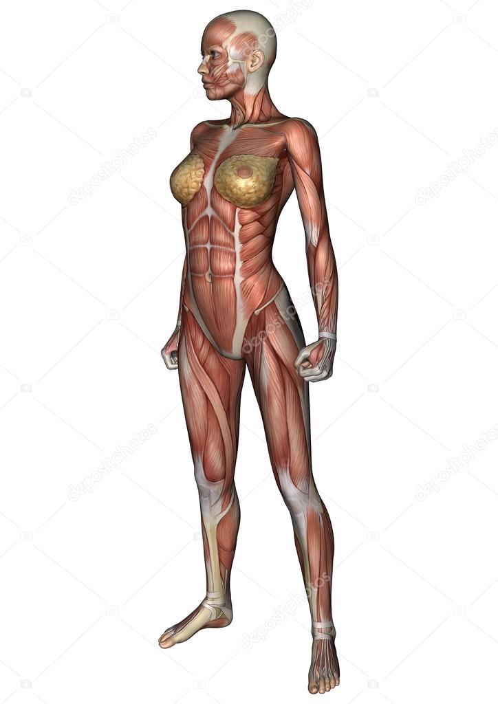 weibliche Anatomie Abbildung — Stockfoto © PhotosVac #39906457