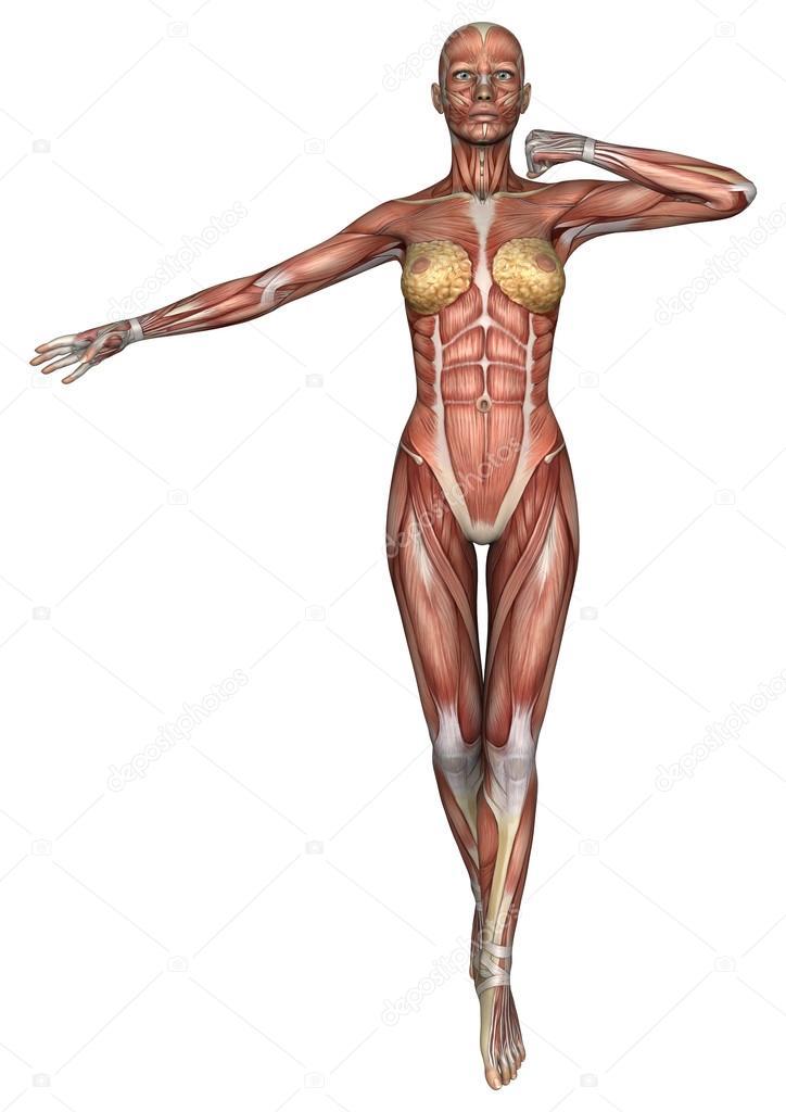 Female Anatomy Figure Stock Photo Photosvac 48138475
