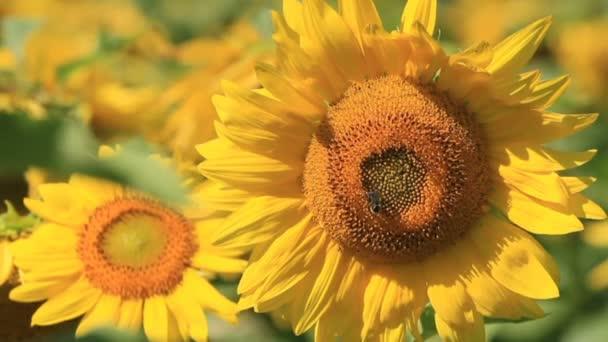 Slunečnice v poli slunečnice s včela