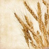 Fotografie Ears of wheat