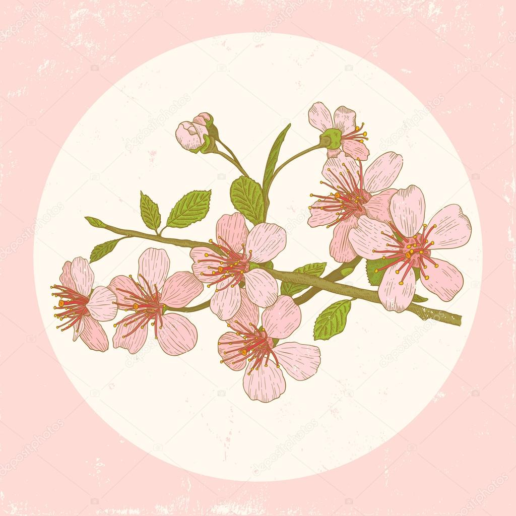 Illustration cherry blossoms