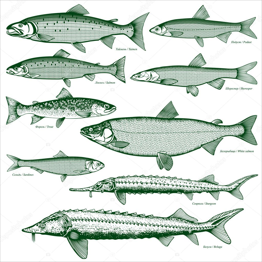 Salmon Stock Vectors, Royalty Free Salmon Illustrations   Depositphotos®