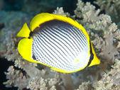 Blackbacked butterflyfish