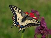 pillangó papilio machaon