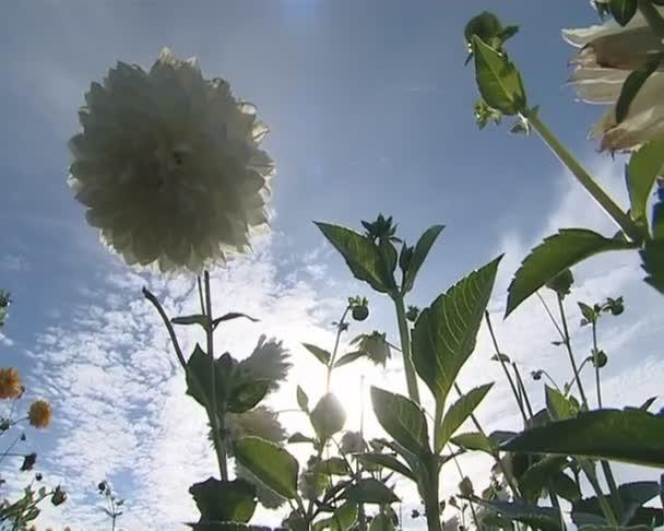 White dahlia flowers and sun rays penetrating through them.