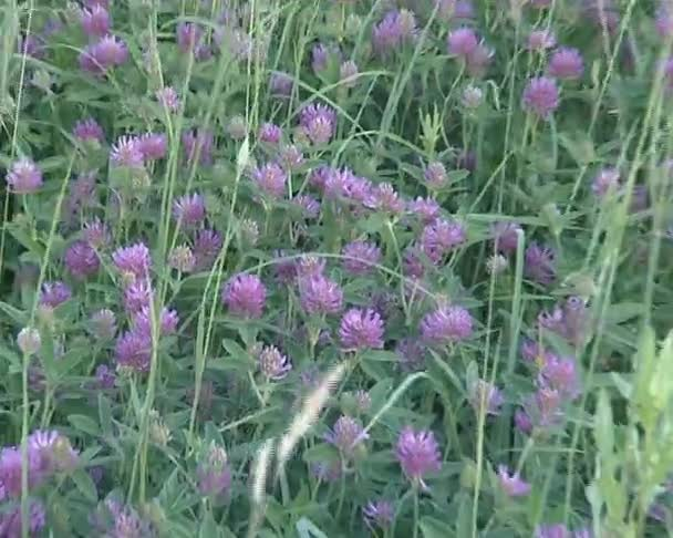Meadow full of beautiful round clover. natural nature view.