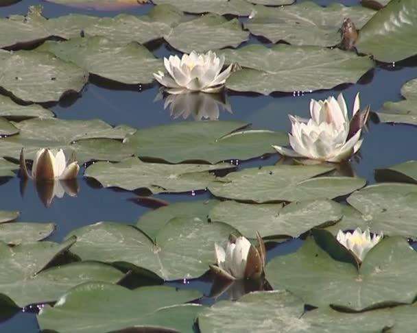 kvetoucí lekníny a jejich listy v jezeře. vodní rostliny.
