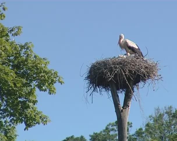 Čáp s malým storkies v hnízdě na řez stromu