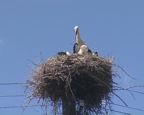stopy po narození. Čapí rodiny v hnízdě na řez stromu