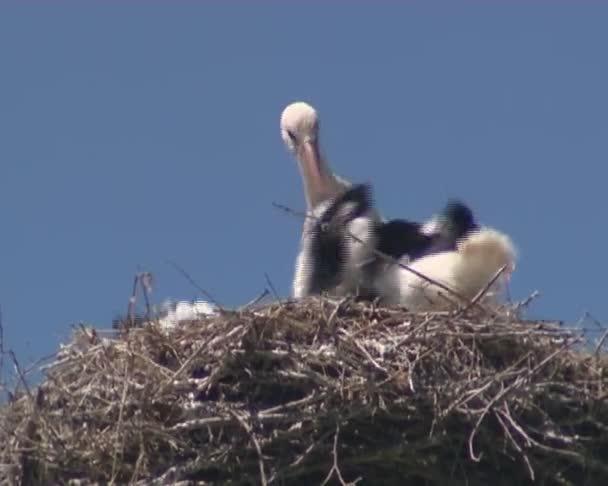 Čáp s malým storkies v hnízdě na elektrické pole
