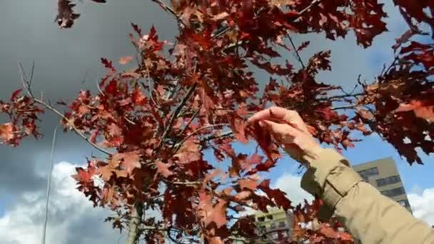 Hand pick leaf autumn oak