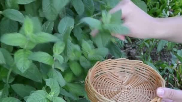 Hand gather mint leaf