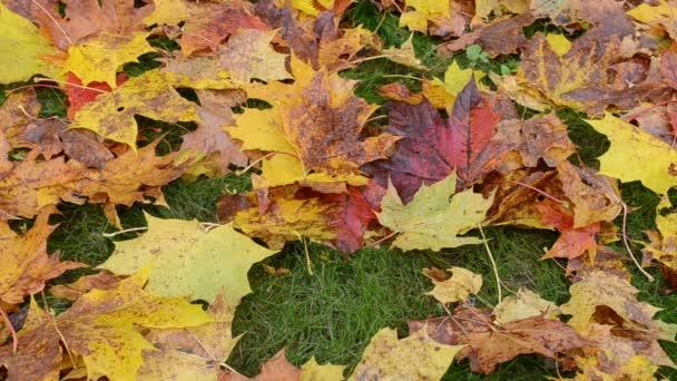 Vértes színes őszi juhar fa rake piros gereblye