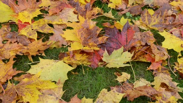 detail barevné podzimní javorový strom hrábě červené hrábě