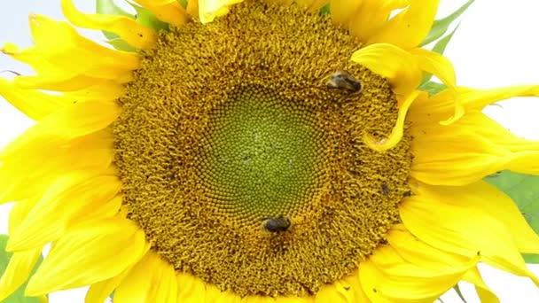 makro slunečnice kvetou a čmelák včely sbírají pyl