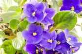 bright purple flowers blooming Saintpaulia