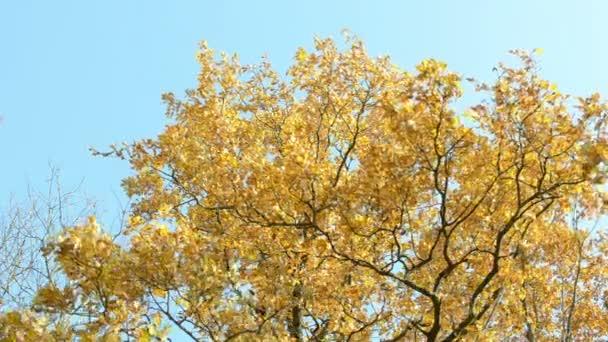 podzimní oranžové starých dubu listí krok vítr pozadí modrá obloha