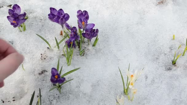 hand gather pick crocus saffron flower snow in spring garden