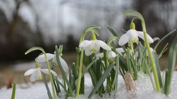tavaszi hóvirág hópehely virág virágzik között hó erdő