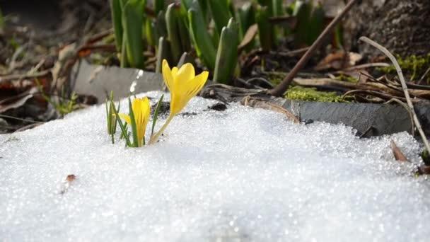 saffran gul krokusblom första vårblommor mellan snö