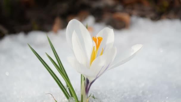saffron crocus spring bloom closeup between snow move in wind